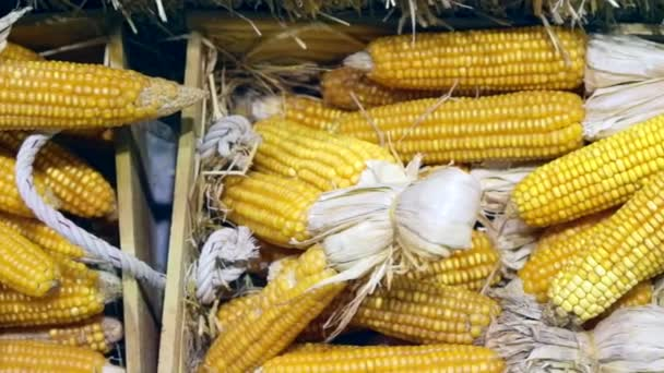Video sušená kukuřice v trhu ležela na seno podzim halloween