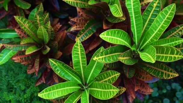 tropická rostlina, červené a zelené listy Cordyline Fruticosa