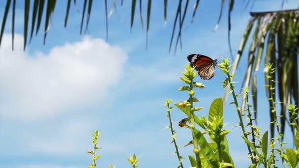 dvou monarcha motýlů kolem rostliny