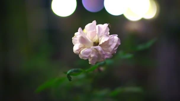 bílý Jasmín květy na pozadí černé a bokeh