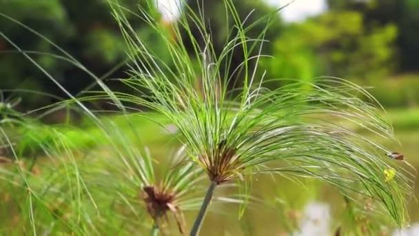 Papyrus strom rostlin před vody rybníka