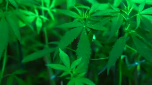 Cannabis sativa ähnliche Pflanze wie Marihuana