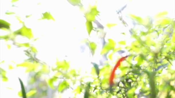 Organické pikantní červené chilli paprika zralé se na rostlině. Červené kontrast na zelené zeleniny pozadí. Capsicum annuum L