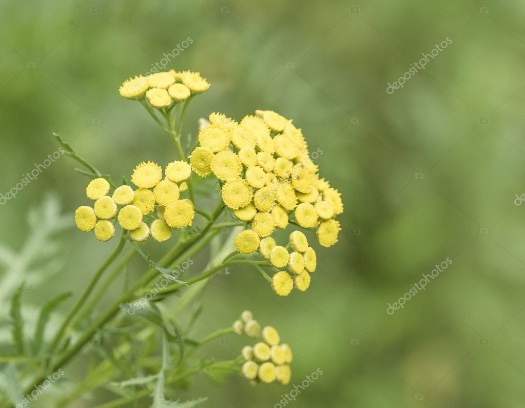 Tansy on blurred background