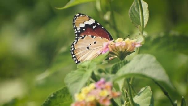 egy gyönyörű pillangó mézet gyűjt.