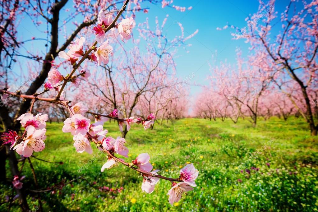 Frutteto di alberi di pesco fiorito in primavera immagine for Immagini desktop primavera