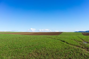Green field with wheat and bright blue sky stock vector