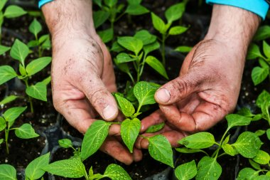 Closeup of the hands of a man who treats small pepper plants in