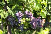 Lóg a bor bor szőlőfürtök