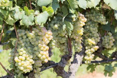 Bunches of wine grapes hanging on the wine
