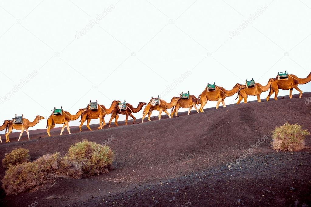 Camels caravan walking on Lanzarote island
