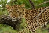 Fotografie Leopard - Jižní Afrika