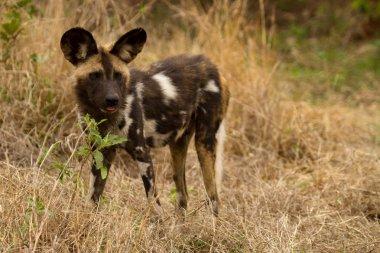 Wild Dog - South Africa