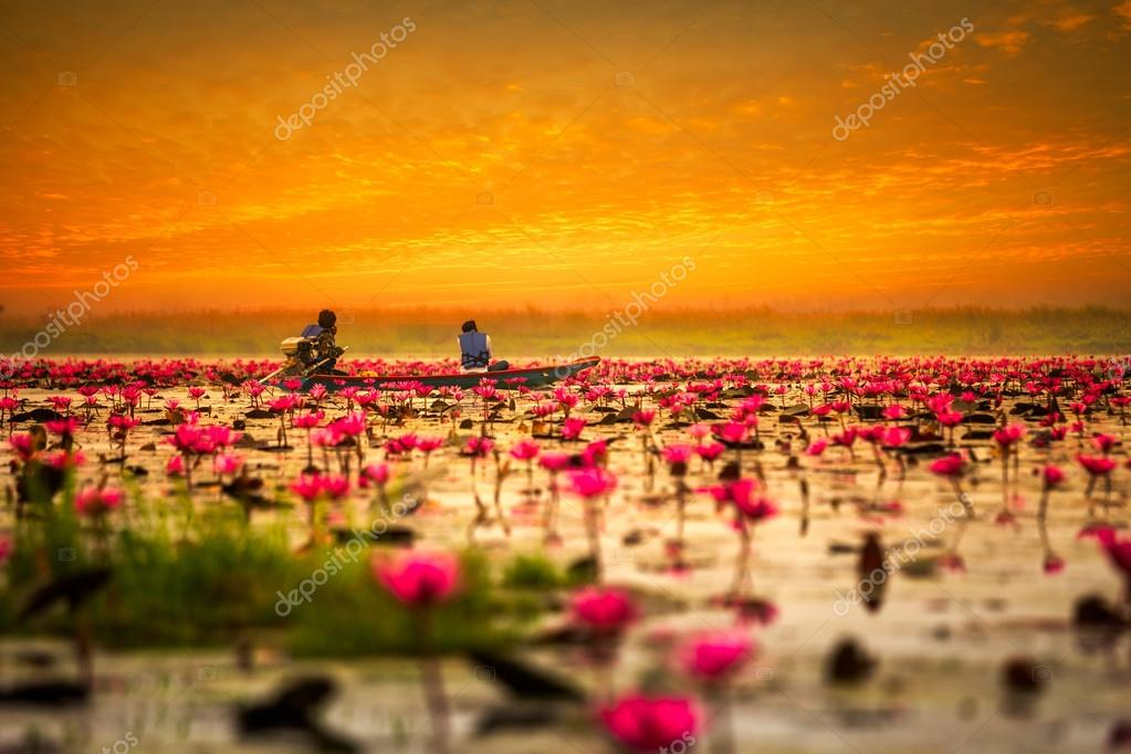 Sea  red lotus at sunrise