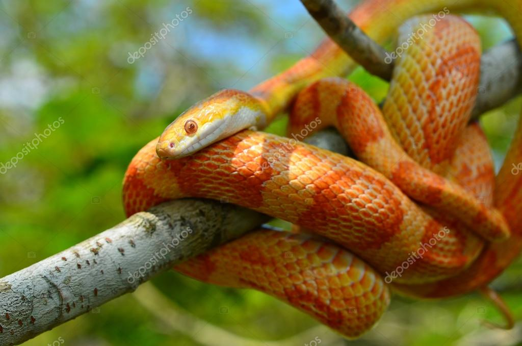 Amel Motley Corn Snake wrapped around a branch — Stock Photo