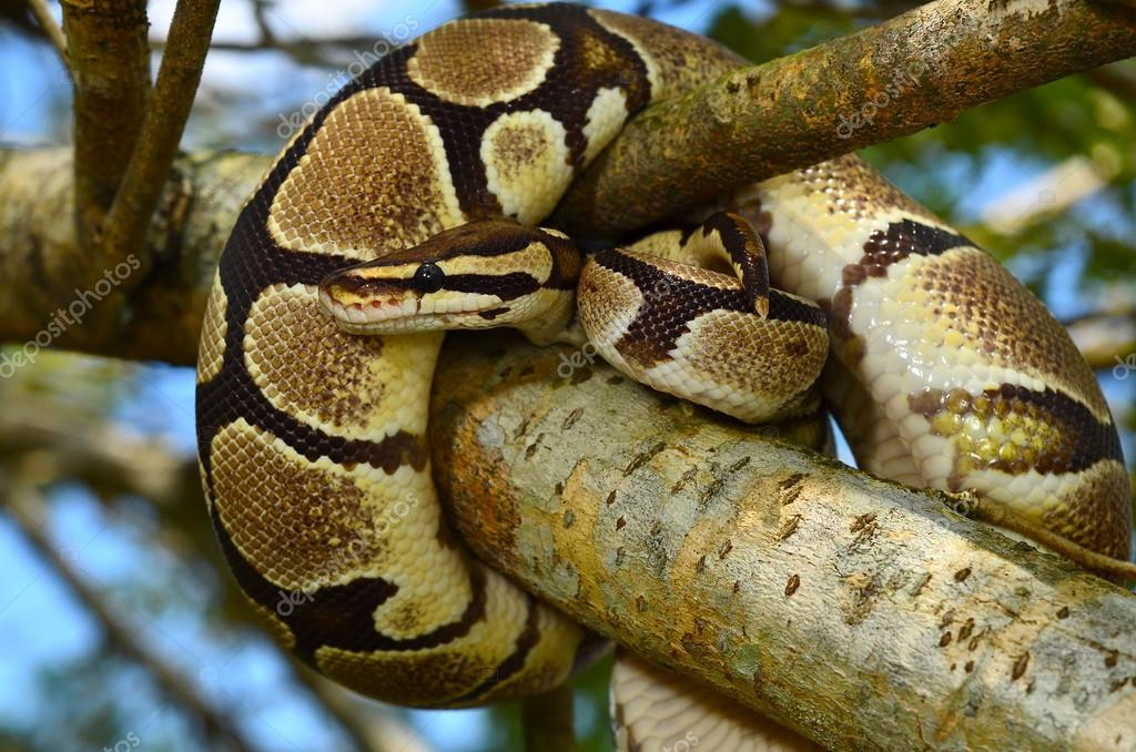 Fire Ball Python Snake wrapped around a branch