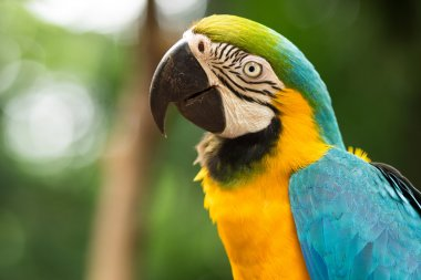 Blue-and-Gold Macaw in Natural Setting