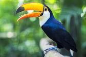 Fotografie Exotische Tukan Vogel in natürlicher Umgebung, Foz do Iguacu, Brasilien