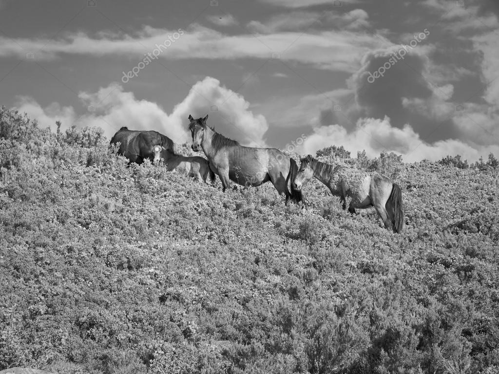 Photography Wild Horses Black And White Black And White Wild Horses Herd Stock Photo C Zacariasdamata 117684876