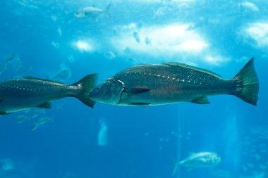Sea aquarium corvina fish