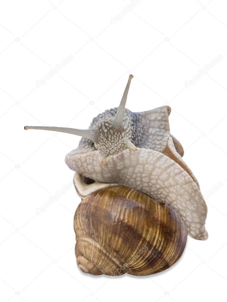 Large Burgundy snail grooming, isolated