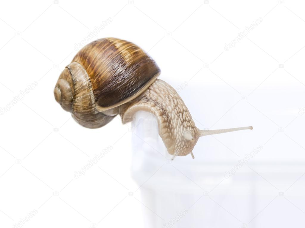 Burgundy snail entering a roofless vivarium, isolated