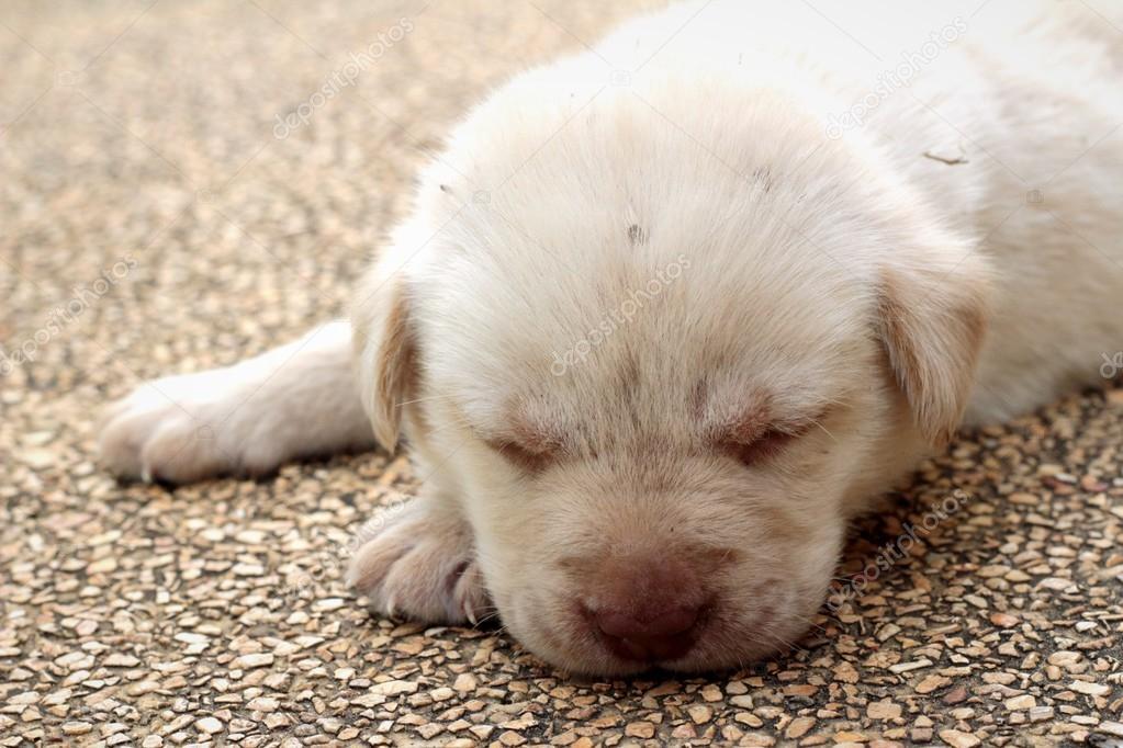 Labrador cucciolo carino un mese vecchio stava dormendo \u2014 Foto di seagamess