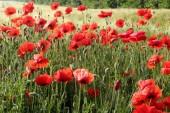 Field poppies on the field