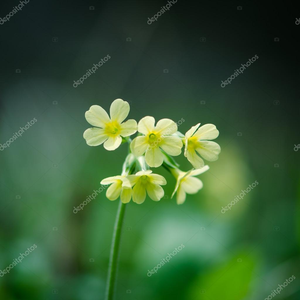 cowslip flower detail