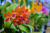 oranžový orchidej
