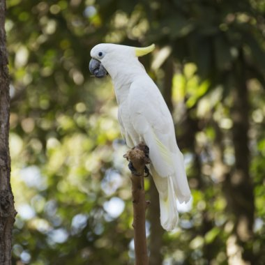 A White Cockatoo