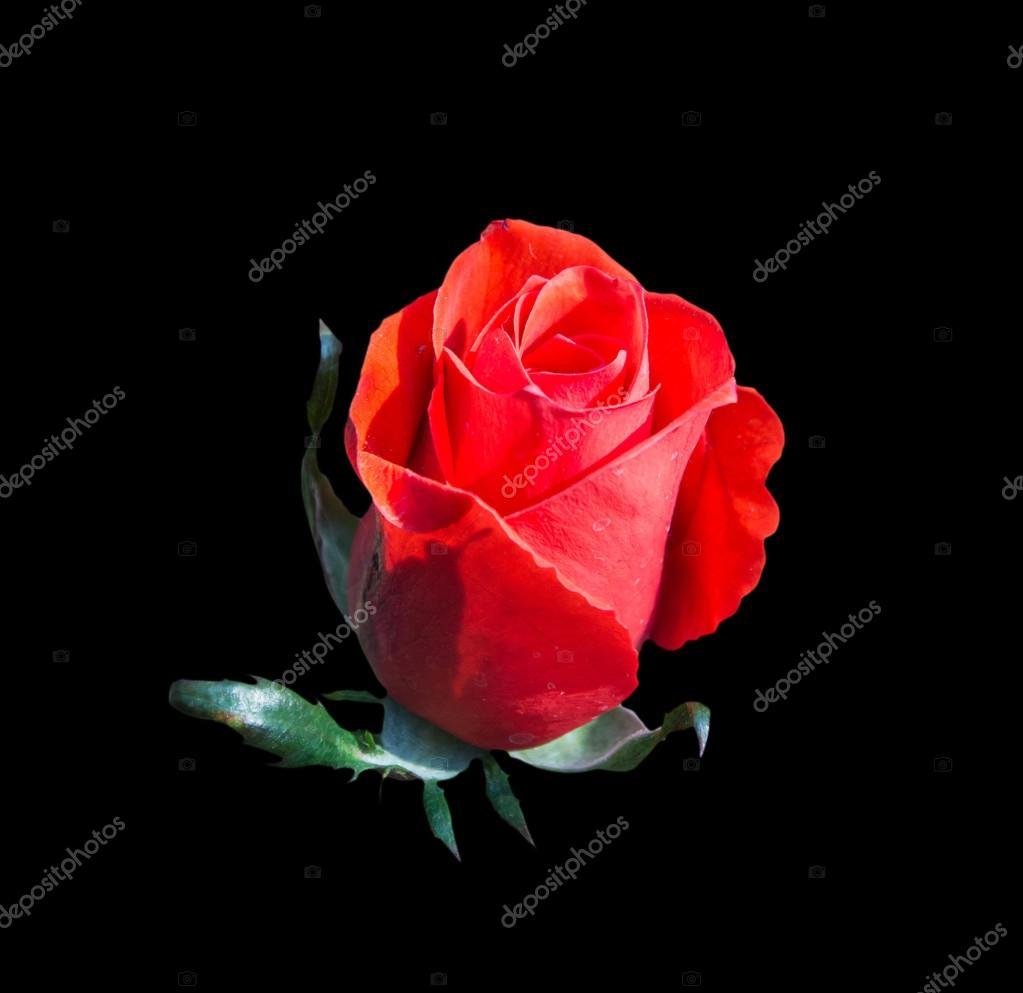 Rosa Rossa Isolato Su Sfondo Nero Foto Stock Yaryhee 63452469