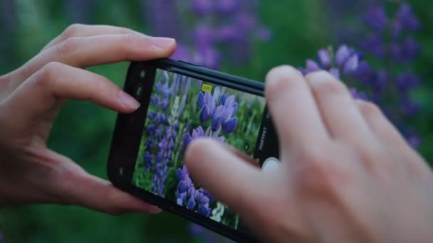 Unknown woman hands taking photo of lupin flowers on a smart phone camera with Bluebonnets field on background. Close up