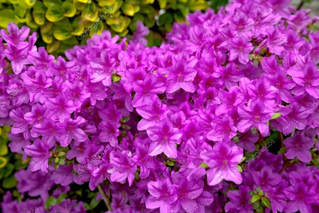 bright purple flowering bush  stock photo © bluraz, Beautiful flower