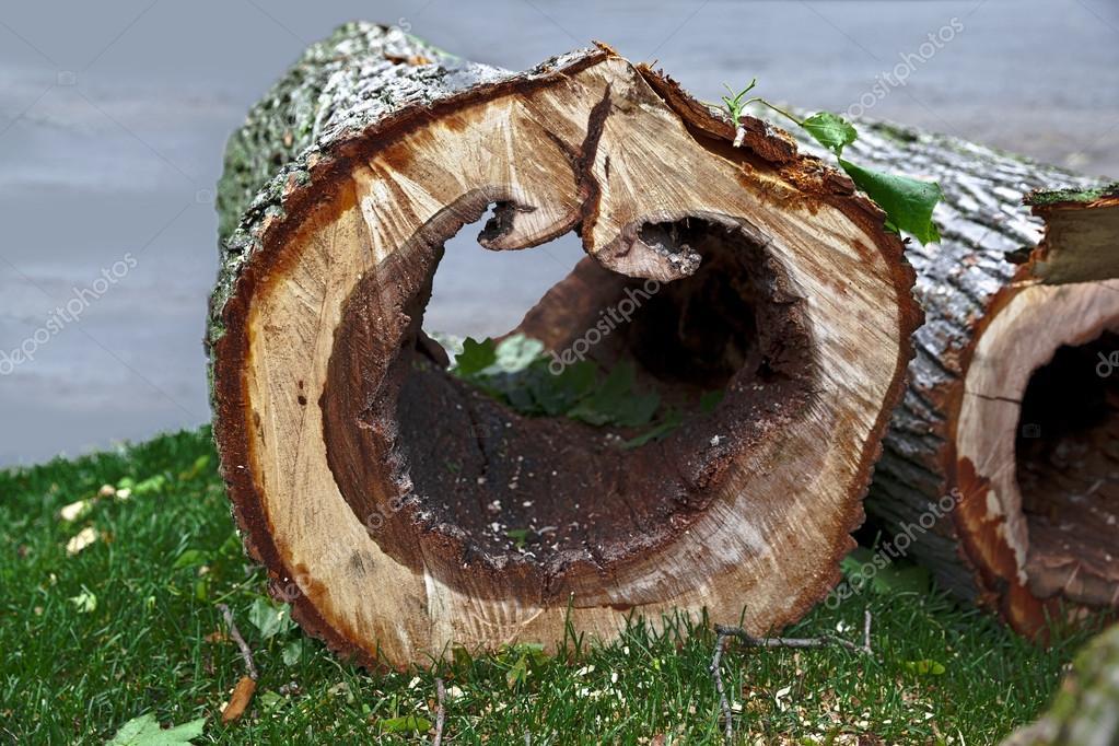 rotten tree cut down