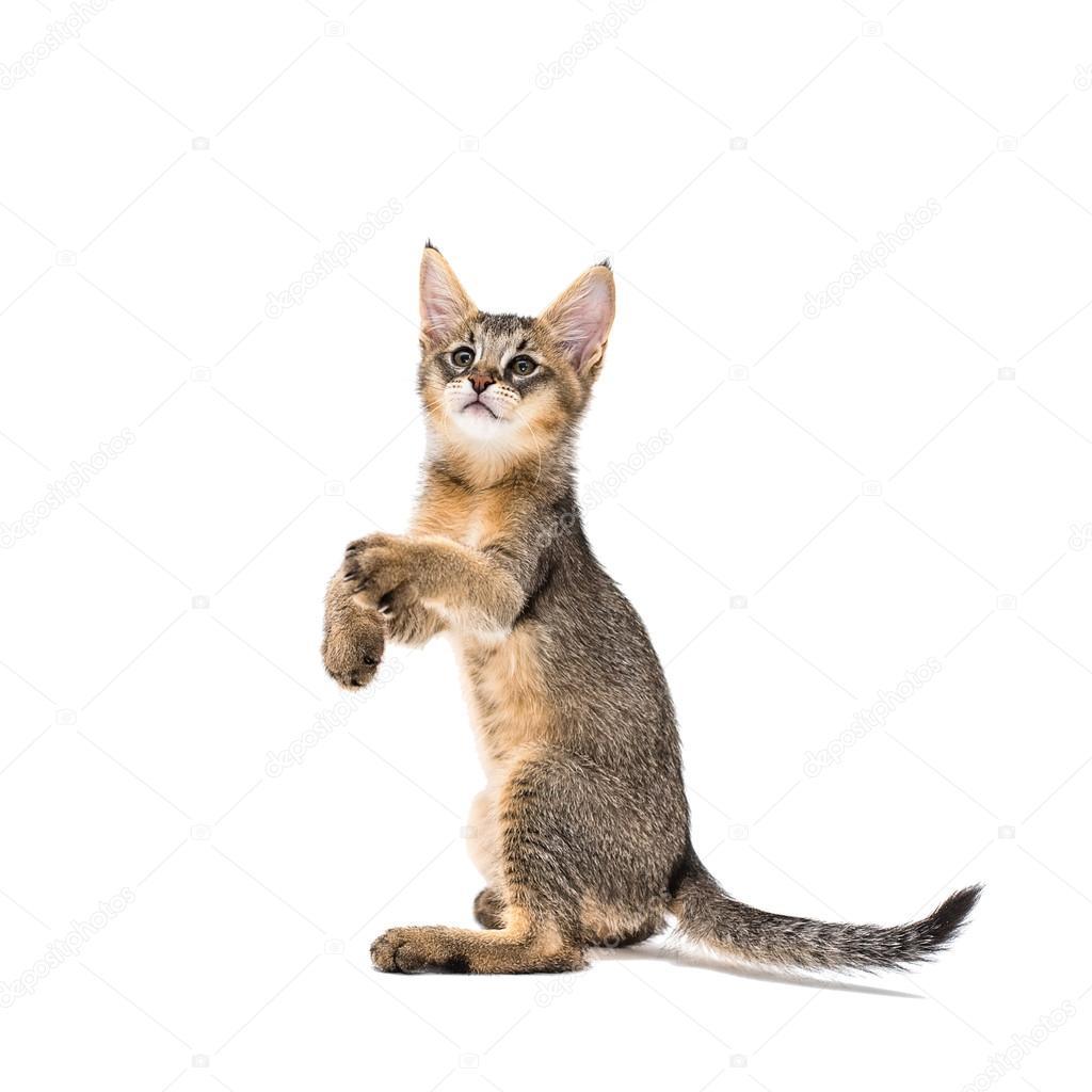 Chausie f1 kitten Jungle Cat hybrid — Stock Photo © 7Yaroslava