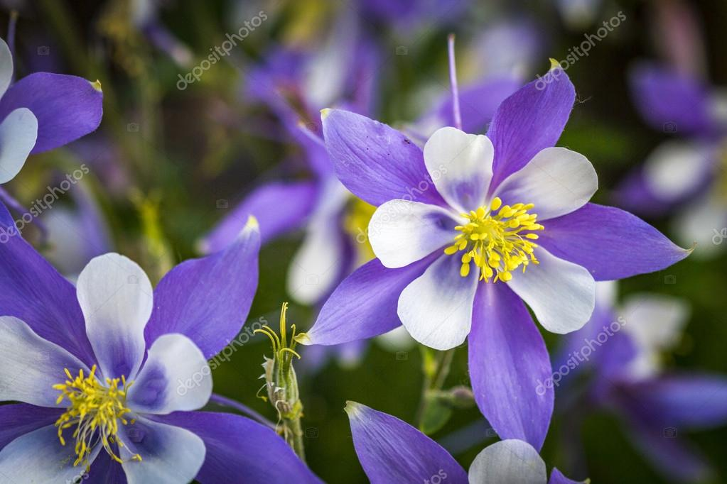Pictures State Flowers Colorado State Flower Blue Columbines Stock Photo C Terivirbickis 116295560
