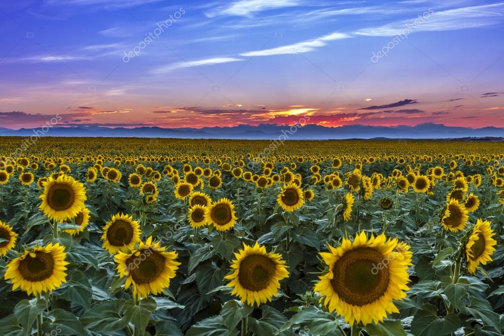 Sunset Over Sunflower Fields of Colorado