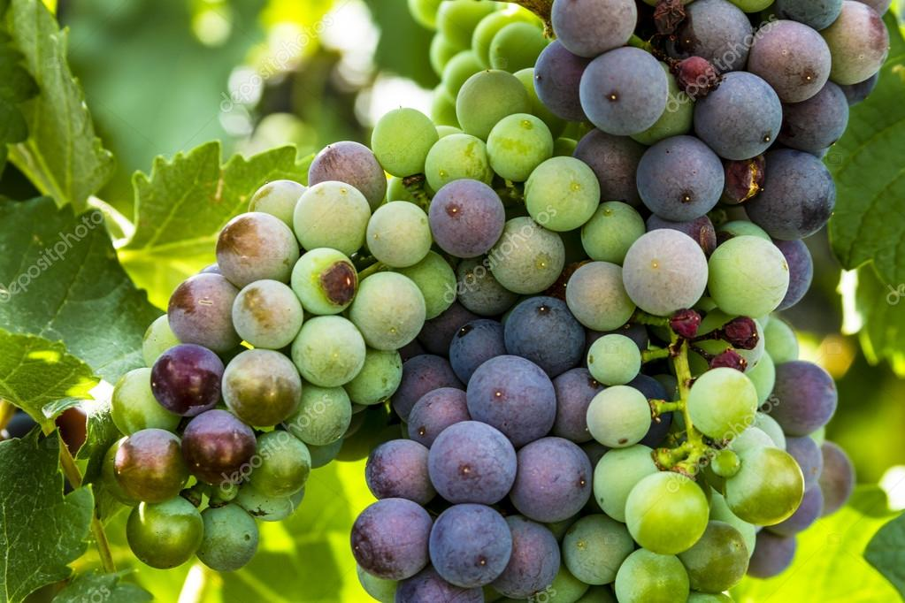 Colorful Wine Grapes on Grapevine