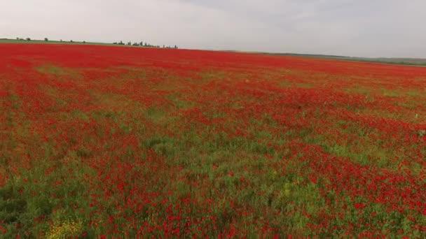 Zemědělské pole s makovými květy