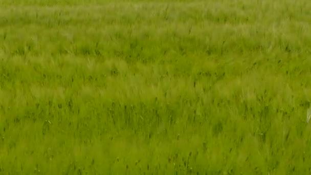 Mladá pšenice pole dojat, vítr