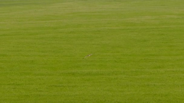 Zöld mező felett repülő vadon élő madár