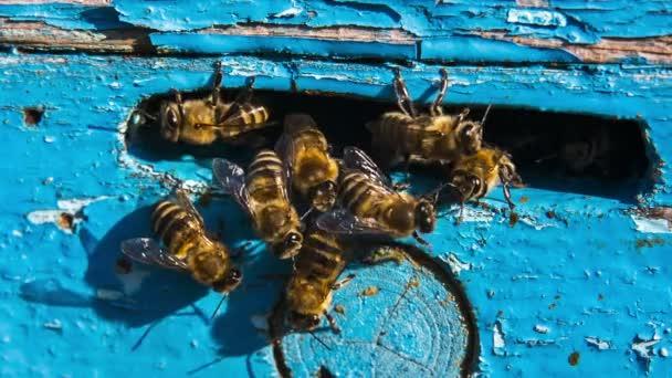 mézelő méhek a bejáratnál a kaptár.