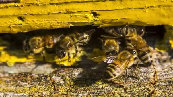 Honigbienen am Eingang zum Bienenstock.
