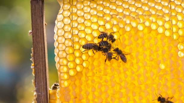 včely, jíst med na plástve