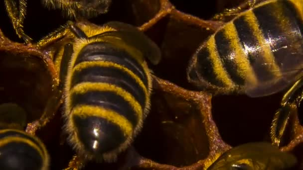Honeycomb: Bees Eating Honey
