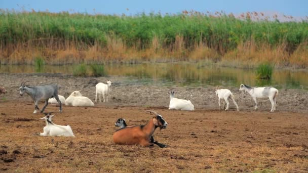 Herd Of Goats Rests At Nature