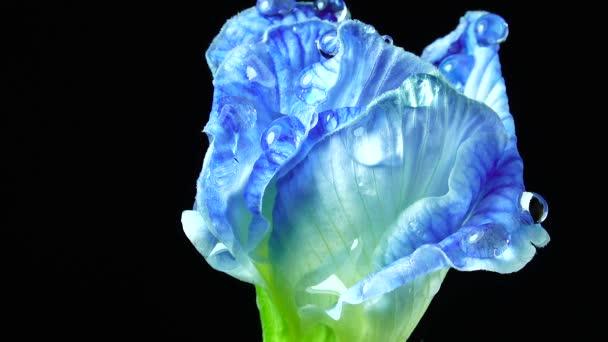 4K UHD videó. pillangó borsóvirág és szelektív fókusz. Borsó virág, gyógynövény koncepció a feketelábú