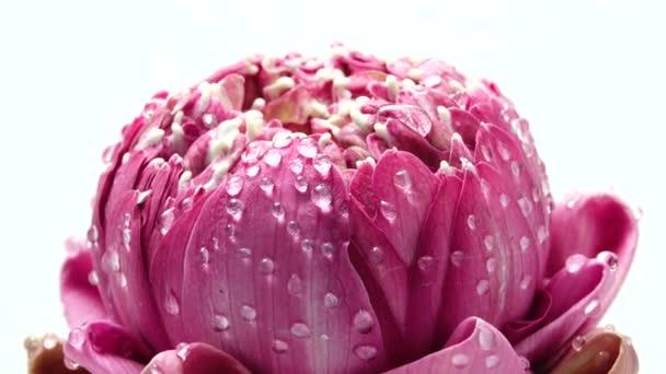 4K UHD videó rózsaszín lótuszvirág vízcsepp és forgással.Közelkép a fehér backgould.