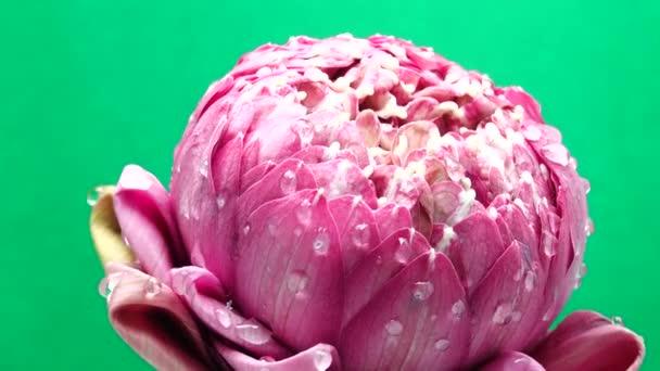 4K UHD videó rózsaszín lótuszvirág vízcsepp és forgással.Közelkép a zöld backgould.